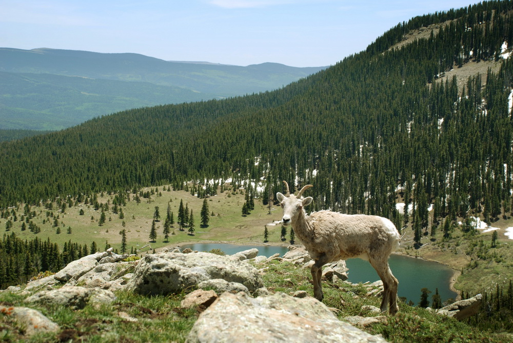 Wild Mountain Sheep In Pecos