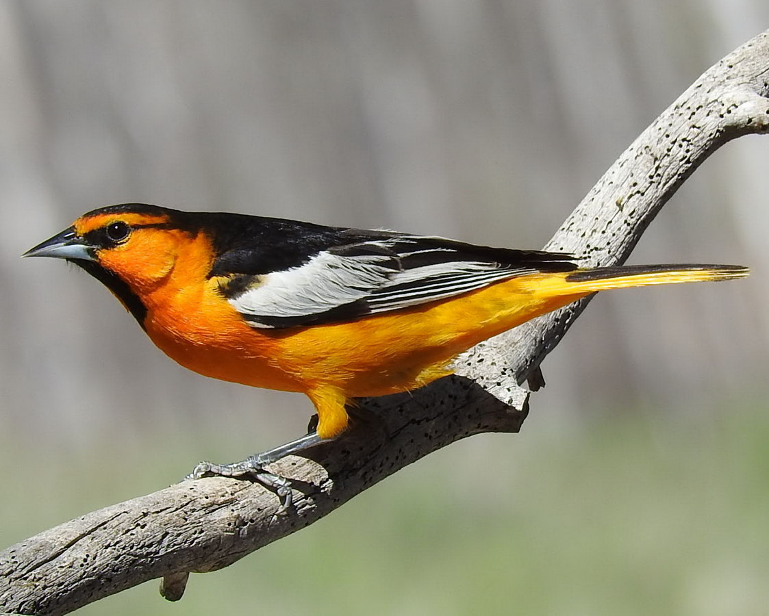 Male Bullocks Oriole